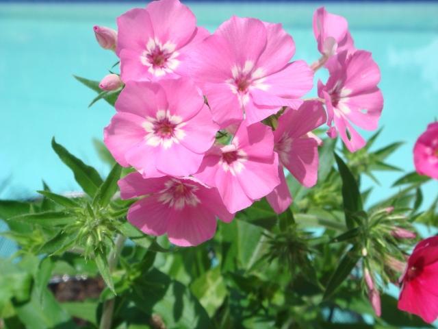 flores rosa en mata, fondo celeste