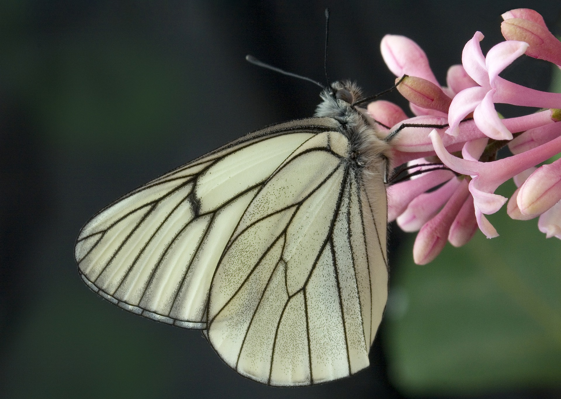 black-veined-white-4336159_1920