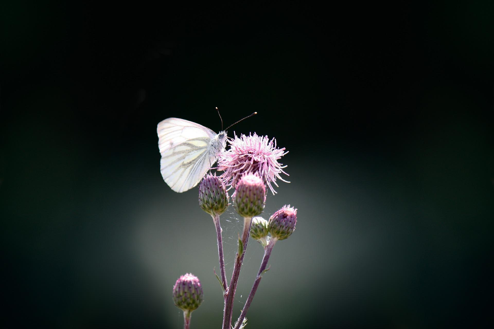 butterfly-1663482_1920